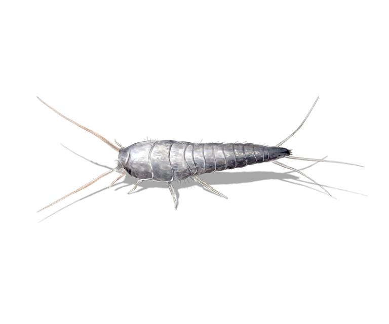 Silberfische bekämpfen & endgültig loswerden